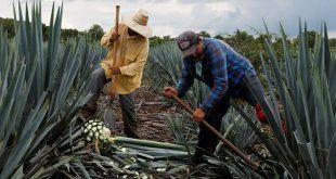 Etiquetan recursos económicos para la producción de agave